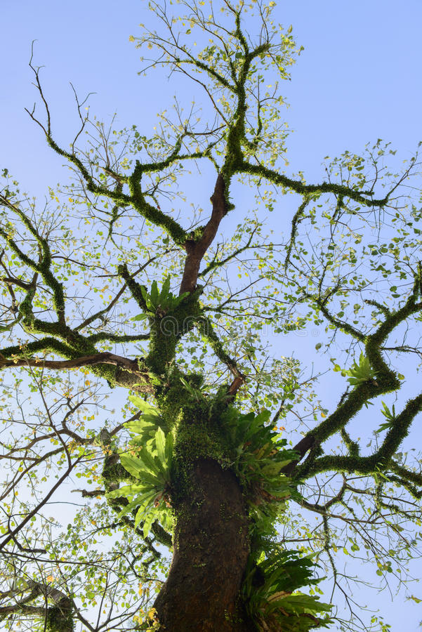 Fågel av redeormbunken på trädet fotografering för bildbyråer