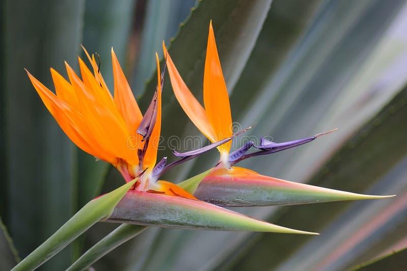 Fågel av reginae för strelitzia för paradisblomma royaltyfri fotografi