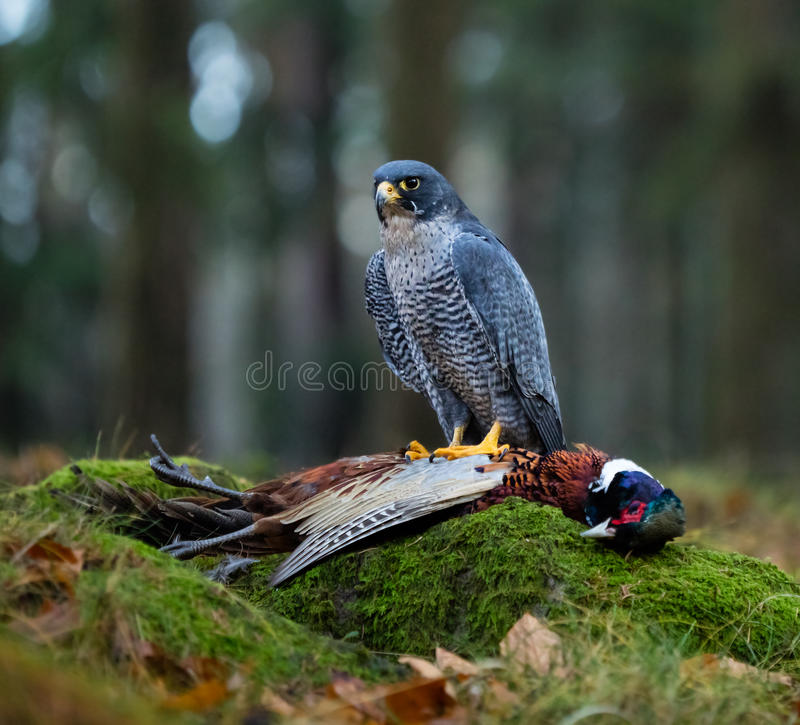 Fågel av rovet Peregrine Falcon (den Falco peregrinusen) arkivfoton