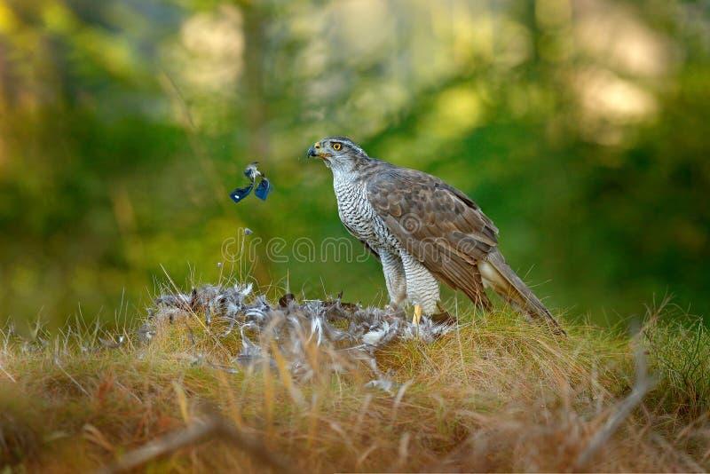 Fågel av rovgoshawken med den dödade Eurasianskatan på gräset i djurt uppförande för grön skog i livsmiljön, djurlivnatur arkivbilder