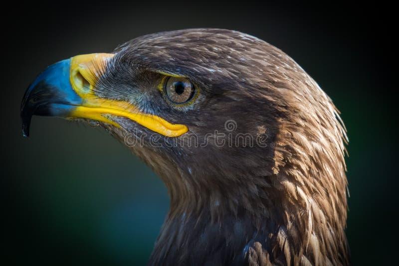 Fågel av rovslutet upp detaljen royaltyfria bilder