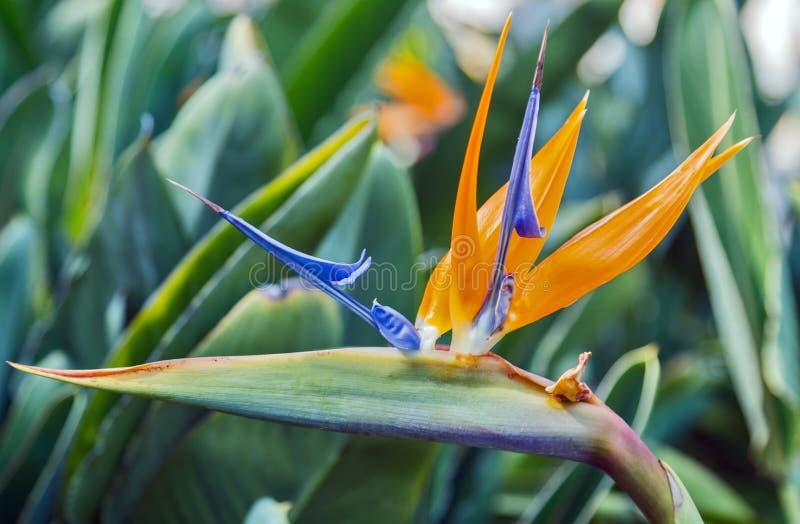 Fågel av strelitzia för blomma för paradisblommor tropisk arkivbild