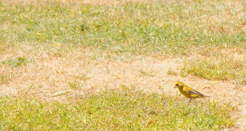 Fågel - chloris för européGreenfinch Carduelis på gräsfältet i sommar med kopieringsutrymme i Nya Zeeland arkivbild