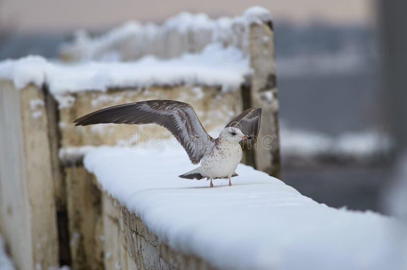 Fågel - den gemensamma fiskmåsen står på ett konkret kvarter som täckas med snö på bankerna av det djupfrysta Volgaet River på en arkivfoton