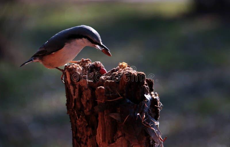 Fågel; ett efternamn royaltyfri bild
