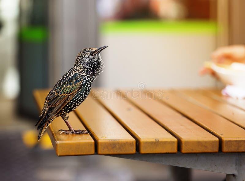 Fågel europeisk stare, vulgaris som är fågel-, kopieringsutrymme arkivfoton