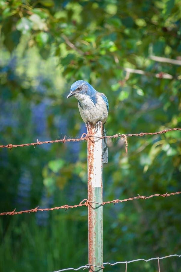 Fågel för blå nötskrika som kyler på ett taggtrådstaket royaltyfri bild