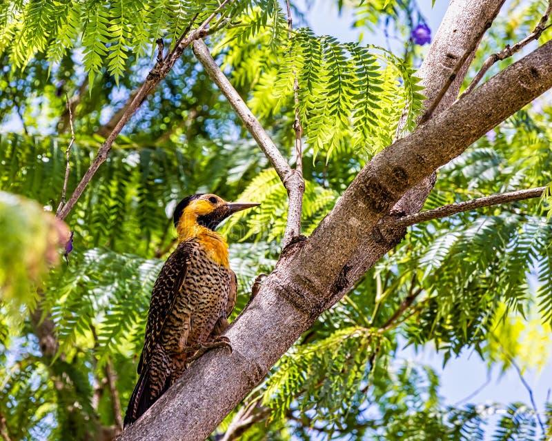 Fågel för Campo fladdrandehackspett - Colaptescampestris - på trädfilial arkivfoton