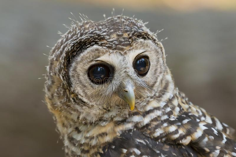 Fågel för chacoensis för strix för tonåringChaco uggla av rovet royaltyfri bild