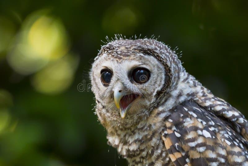 Fågel för chacoensis för strix för tonåringChaco uggla av rovet arkivfoto