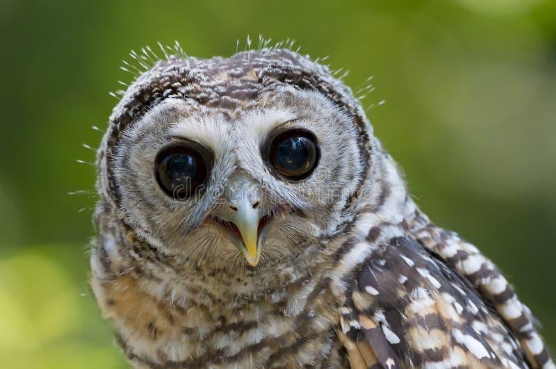 Fågel för chacoensis för strix för tonåringChaco uggla av rovet royaltyfri fotografi