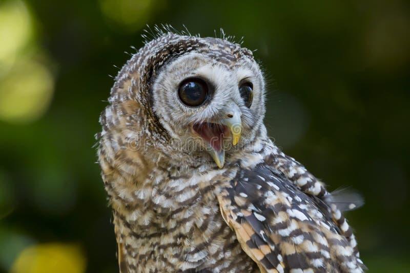Fågel för chacoensis för strix för tonåringChaco uggla av rovet arkivbilder