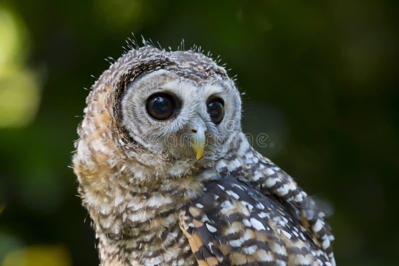 Fågel för chacoensis för strix för tonåringChaco uggla av rovet fotografering för bildbyråer