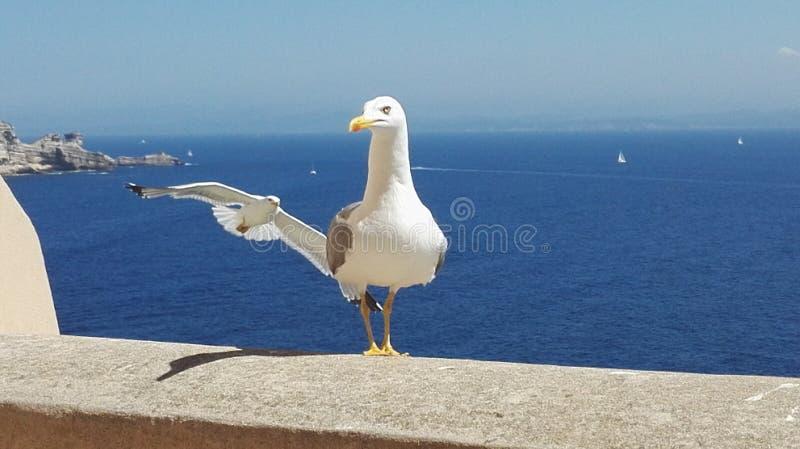 Fågel för hav för Corse Bonifacio seagullssol arkivfoton