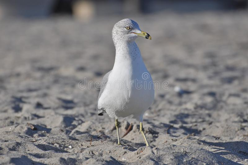 Fågel för havsfiskmås på en strand royaltyfri fotografi