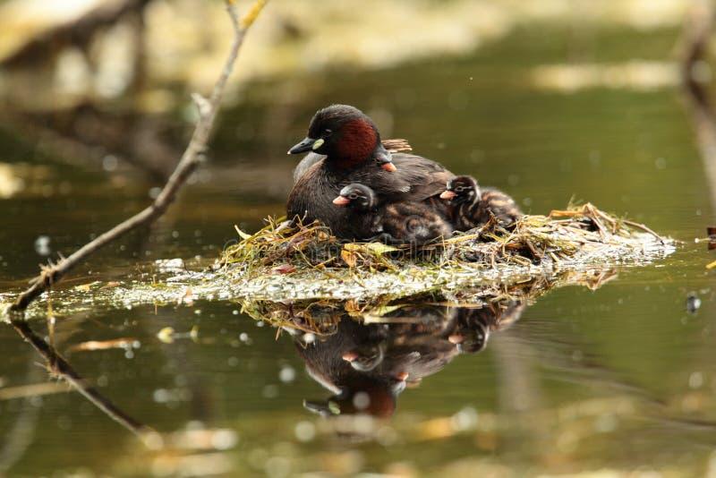 Fågel för liten dopping arkivbild