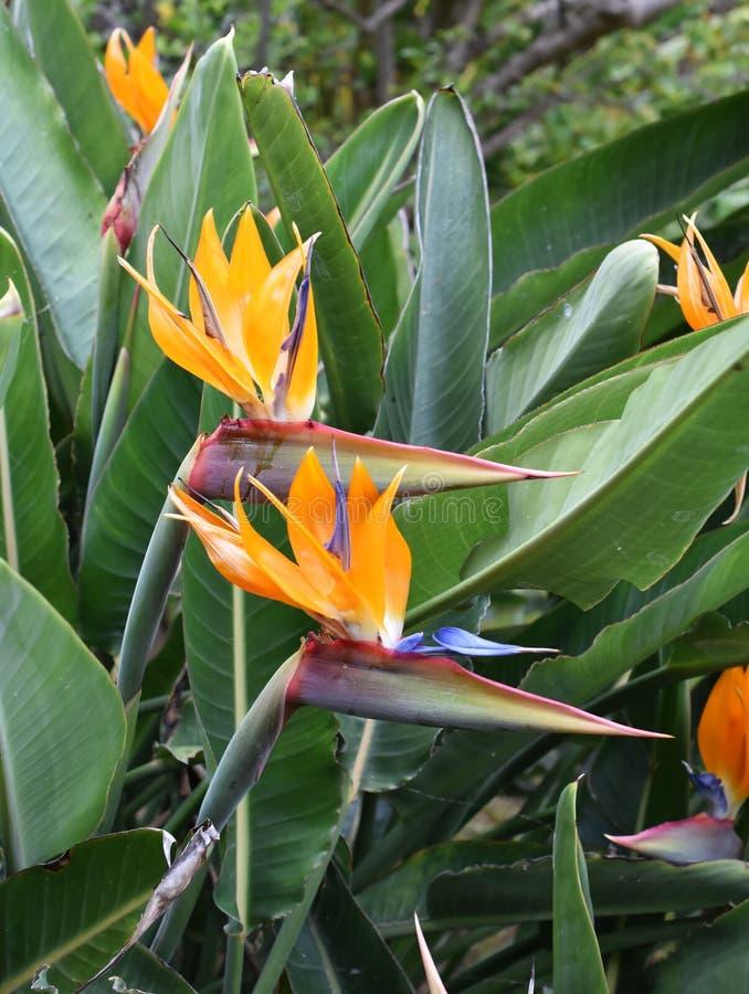 Fågel för reginae för kranblommaStrelitzia av paradiset royaltyfria bilder