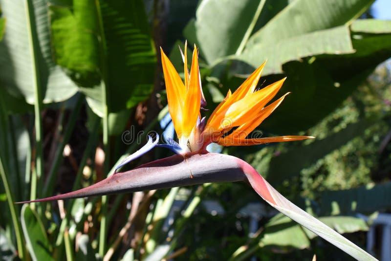 Fågel för reginae för kranblommaStrelitzia av paradiset arkivfoton