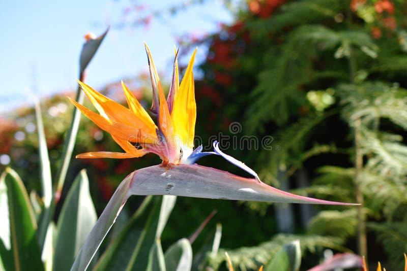 Fågel för reginae för kranblommaStrelitzia av paradiset arkivbilder