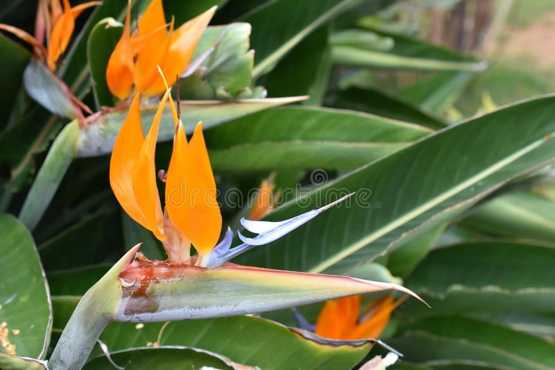 Fågel för reginae för kranblommaStrelitzia av paradiset arkivfoto