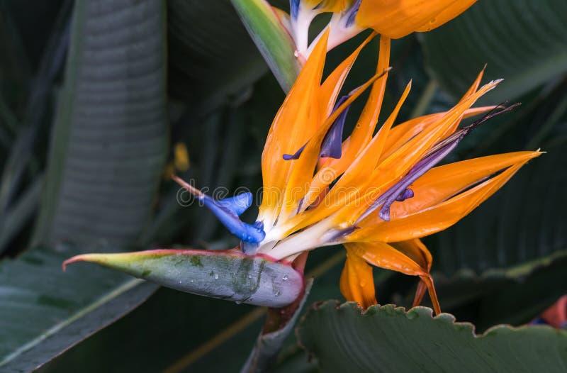 Fågel för reginae för Strelitzia orange och blå, av paradisblomman arkivfoton