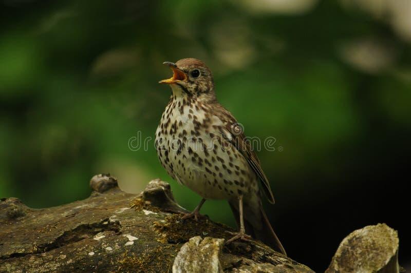 Fågel för sångtrast (Turdusphilomelos) arkivfoto