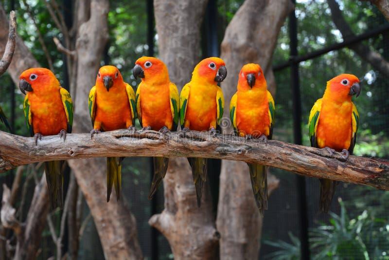 Fågel för solConure papegoja arkivfoto