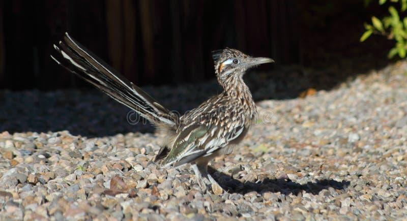 Fågel för väglöpare som går runt om ett nytt - Mexiko abqgrannskap under en varm sommardag royaltyfria bilder