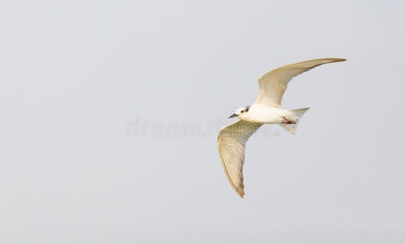 Fågel för Whiskered tärna (den Chlidonias hybridaen) arkivbilder