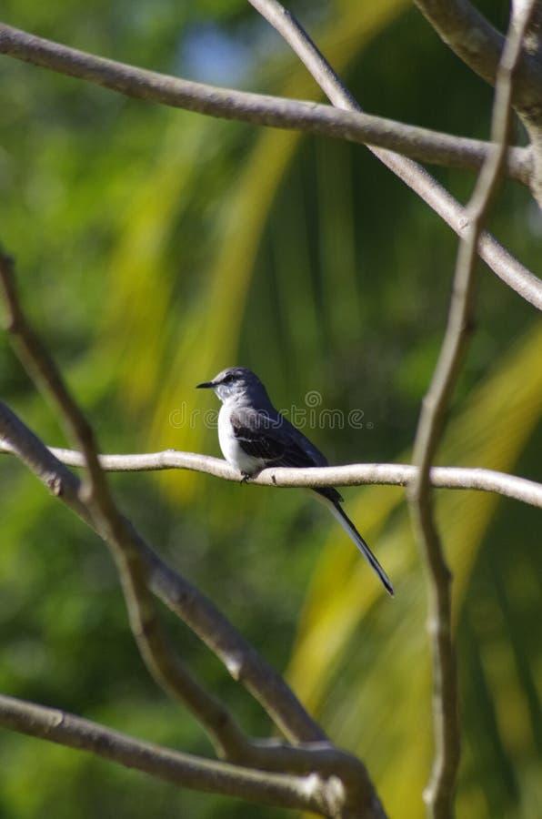 Fågel från Kuba royaltyfri foto