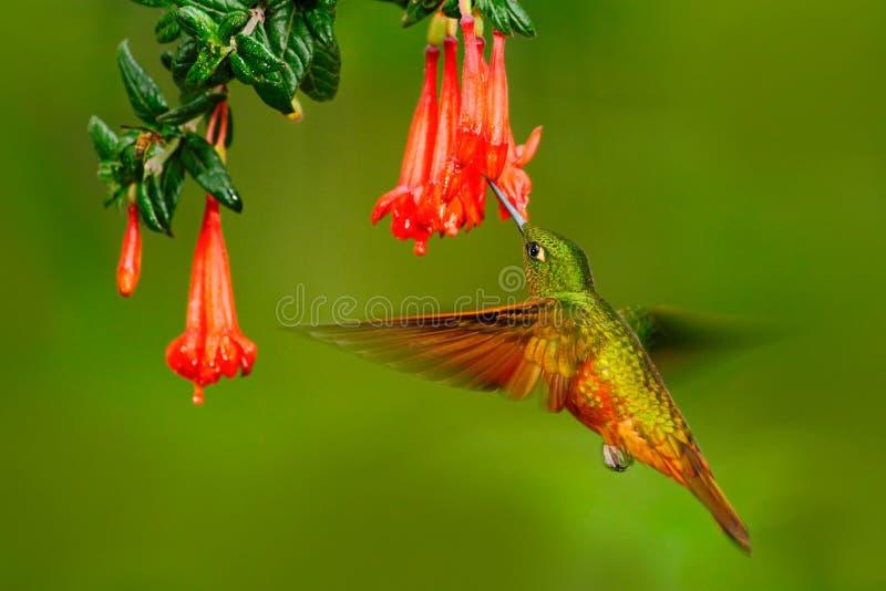 Fågel från Peru Apelsin och gräsplanfågel i skogen med den röda blomman Kolibri Kastanj-gången mot krona i skogen Hummingb royaltyfria foton