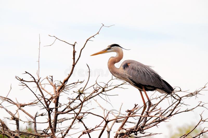 Fågel häger för stora blått, Florida arkivbilder