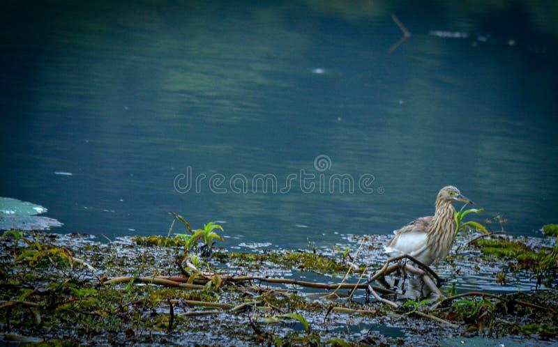 Fågel i dammet fotografering för bildbyråer