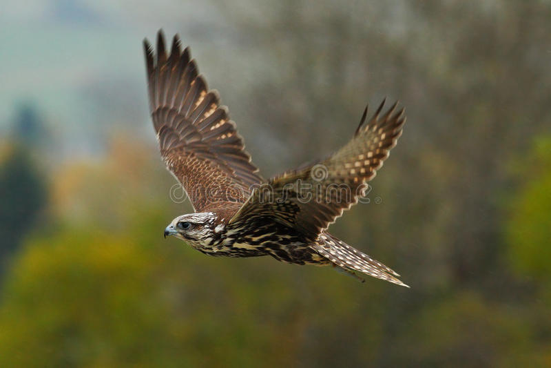fågel i fluga Flygfalk med skogen i bakgrunden Lanner falk, fågel av rovet, djur i naturlivsmiljön, Tyskland _ royaltyfri bild