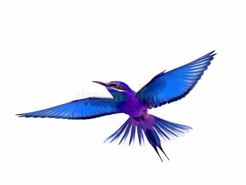 Fågel i flykten som isoleras på vit bakgrund royaltyfria bilder