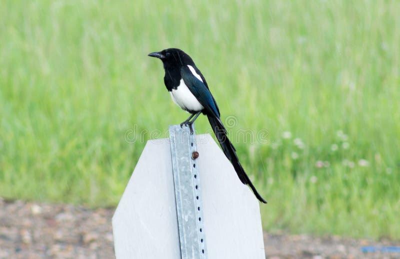 Fågel i regn royaltyfri bild