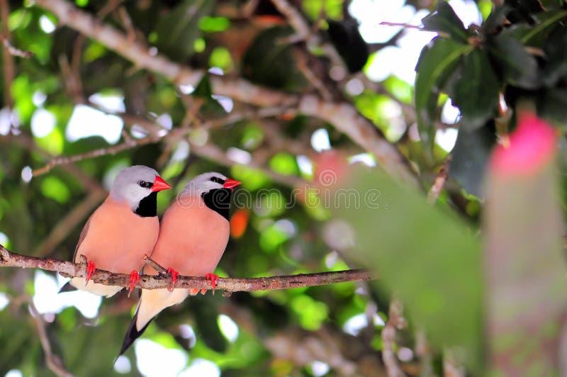 Fågel Lång-tailed finkar royaltyfria bilder