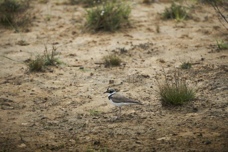 Fågel Letar efter mat arkivbilder