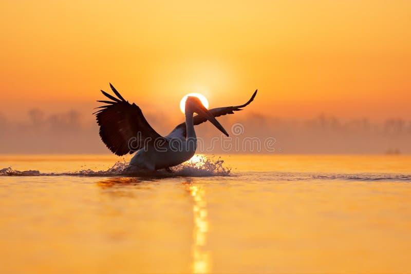 Fågel med morgonsoluppgång Dalmatian pelikan, Pelecanuscrispus, i sjön Kerkini, Grekland öppna pelikanvingar Djurlivplats fotografering för bildbyråer