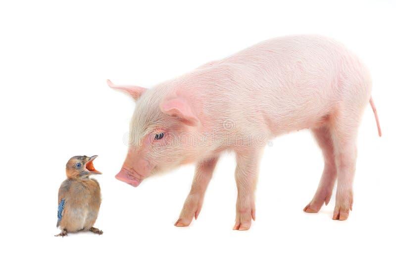 Fågel och svin arkivfoton
