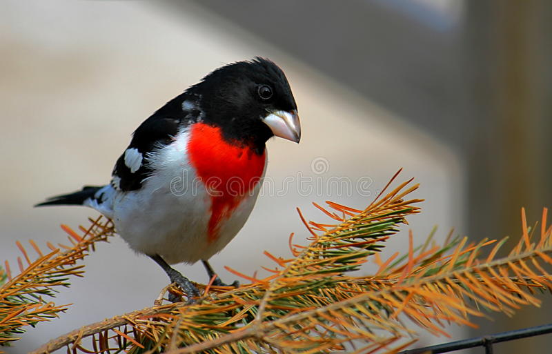 Fågel på filialen röda gick mot Gosbeak arkivfoton