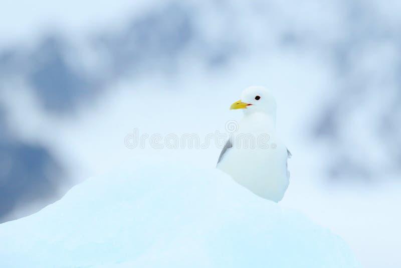 Fågel på isen, vinterplats från arktisk Svart-lagd benen på ryggen tretåig mås, Rissatridactyla, med den blåa isglaciären, isberg royaltyfria foton