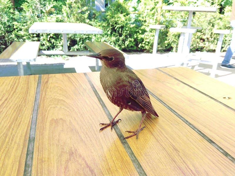 Fågel på tabellen fotografering för bildbyråer