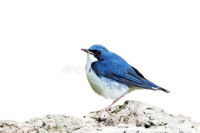 Fågel (Siberian blåa Robin) på vit backg royaltyfri fotografi