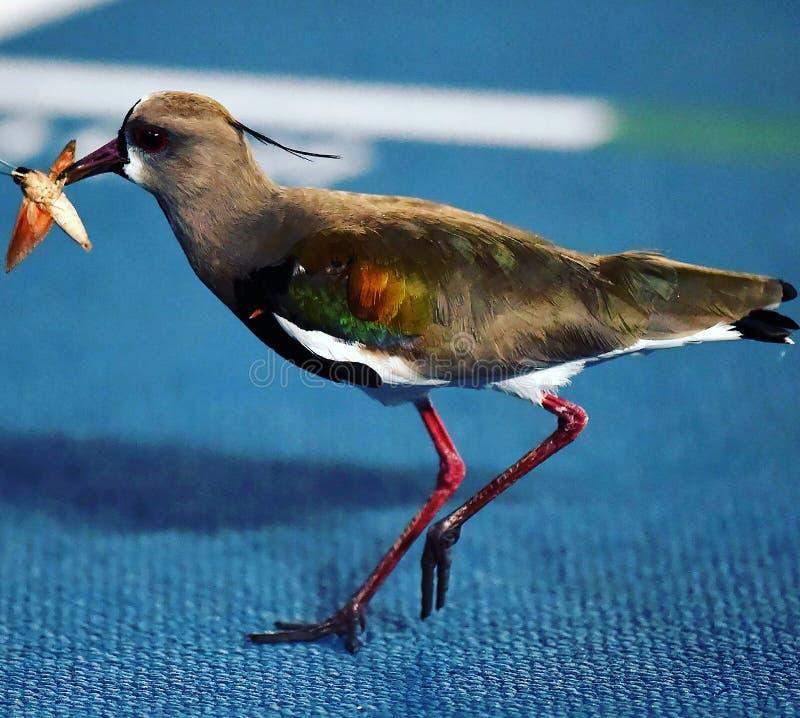fågel som äter ett kryp, arkivbild