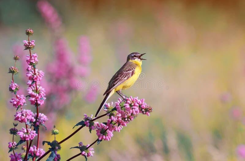 Fågel som den gula sädesärlan sjunger på en äng i sommardag royaltyfria bilder