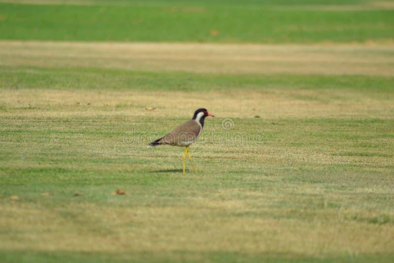 Fågel som försöker att flyga royaltyfria foton