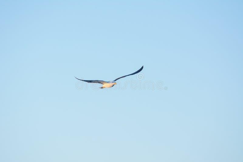 Fågel som högt flyger i blå himmel royaltyfria foton