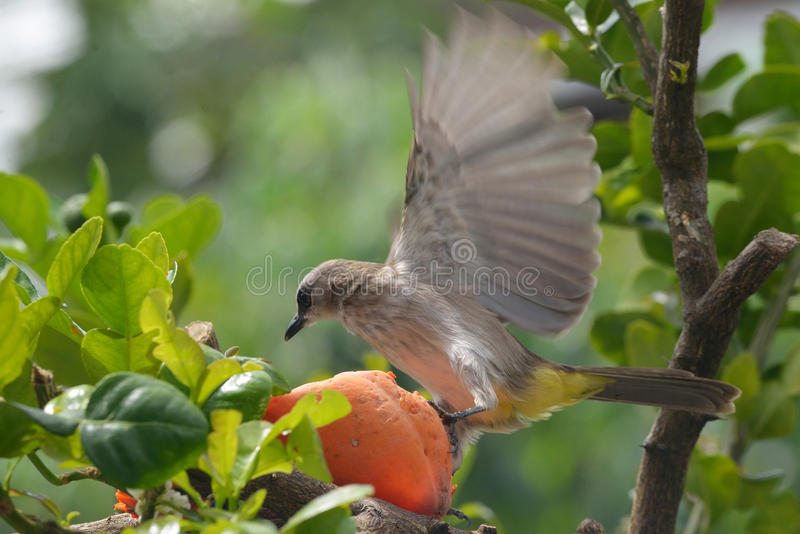 Fågel som kliver på en stupad papaya royaltyfri fotografi