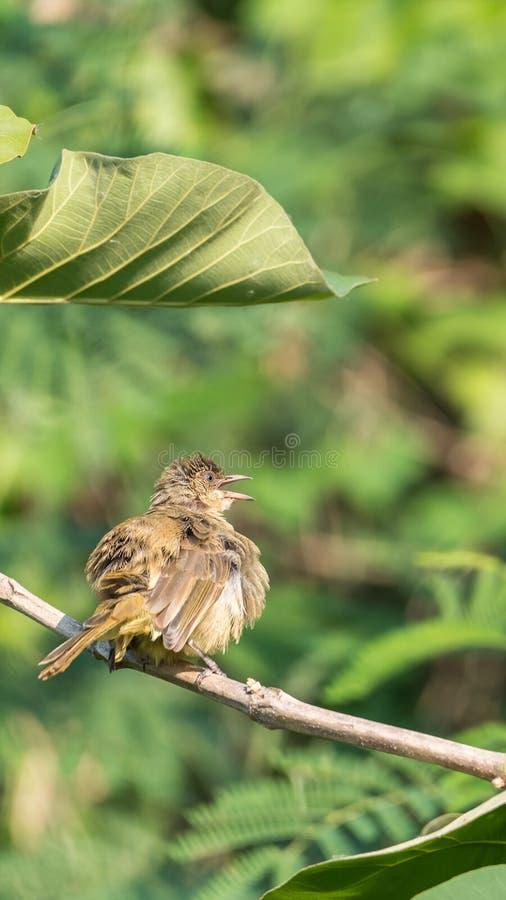 Fågel (Strimma-gå i ax bulbul) på träd i den lösa naturen fotografering för bildbyråer